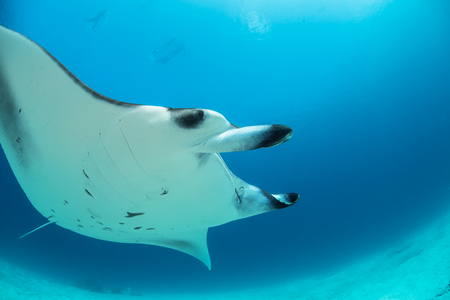 big scenery: Ocean wildlife scenery with big animal. A mantaray floating through sunbeams under water surface over corals. Maldivian tropical fish. Stock Photo