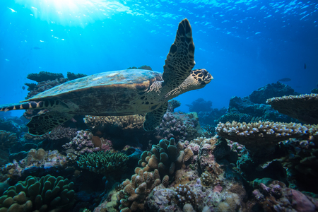 Beautiful Aquatic Postcard. Maldivian Sea Turtle Floating Up And Over Coral reef. Loggerhead in wild nature habitat Stock Photo