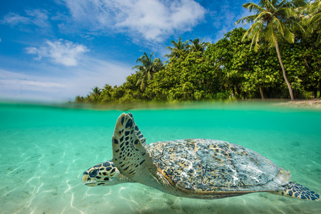 animal parts: Sea tropical underwater paradise. Sea animal turtle floating underwater. Water line splits image to two parts. Beautiful Maldivian sky with clouds and palm sandy beach. Tropical design element.