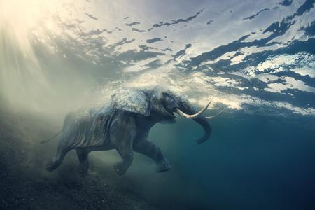 수영 코끼리 수 중입니다. sunrays와 물 표면에 매릴랜드 주에 아프리카 코끼리. 스톡 콘텐츠