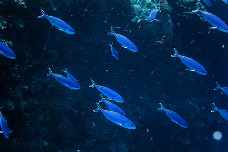 blue fish: Blue fish shoal underwater in deep sea Stock Photo