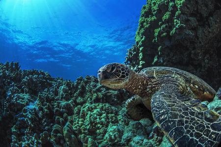 수 중 해양 야생 동물 엽서입니다. 물 표면 아래 산호에 앉아 거북이. 하와이 마우이 섬에서 근접 촬영 이미지 스톡 콘텐츠