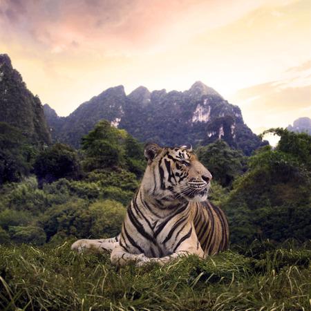Portrait of a bengal tiger in his habitat