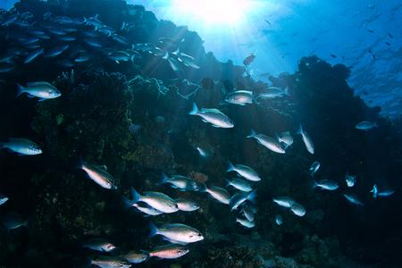 Blauwe zilveren vissenondel onderwater in diepzee