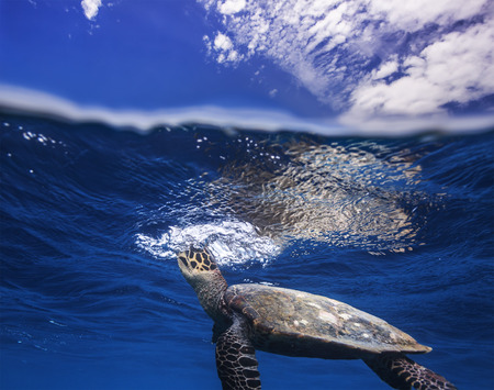 Sea Turtle Taking Breath Underwater From Air. Image Dividet by Water Line