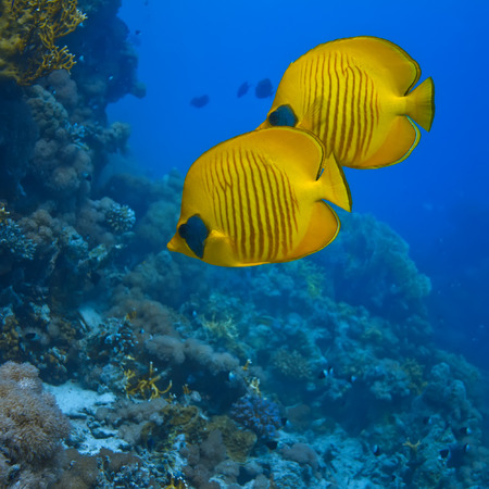 chaetodon: The bluecheek butterflyfish (Chaetodon semilarvatus) two yellow fish in front of beautiful coral reef underwater