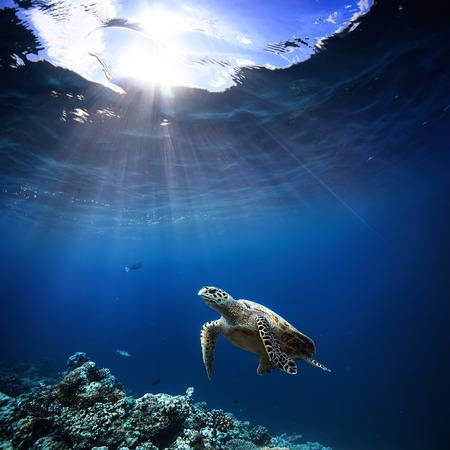Onderwater wildlife met dieren, Duikavonturen op de Malediven. Zeeschildpad die over mooie natuurlijke oceaanachtergrond drijft. Koraalrif verlicht met zonlicht wateroppervlak.
