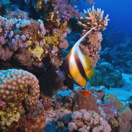 bannerfish: underwater deep blue sea coral garden with banerfish