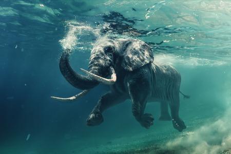 Zwemmen Elephant Onderwater. Afrikaanse olifant in de oceaan met spiegels en rimpelingen op het wateroppervlak.