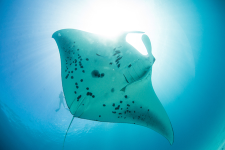 Mantaray underwater against sun light at water surface