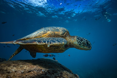 Big sea turtle at clean station floating over rock between coral reefs