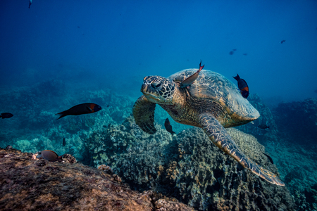 Sea turtle stopping to swim at clean station. A fish cleaning skin underwater