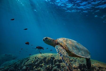 Turle in onderwatermilieu dat door vissen en blauwe gekleurde achtergrond wordt omringd
