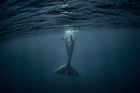 Sperm whale underwater view from back. Whale tail in Atlantic ocean 写真素材