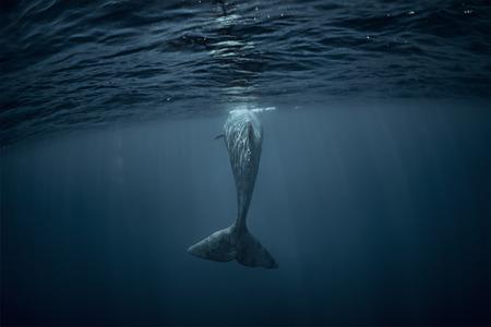 Sperm whale underwater view from back. Whale tail in Atlantic ocean Standard-Bild