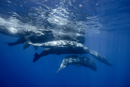Underwater adventures with whales in Atlantic ocean water. Blue environmental marine background with seven spermwhales traveling near water surface. Wildlife conservation conceptual photograph