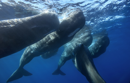 Family of spermwhales underwater near water surface, shot from below