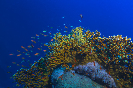Underwater pattern with fire corals against blue water Stock Photo