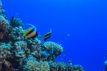 Underwater wildlife, coral reef with bannerfhish against blue water in Red sea, aquatic postcard with copyspace