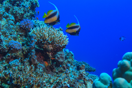 Underwater coral world with two bannerfish against blue water in Red sea Stock Photo