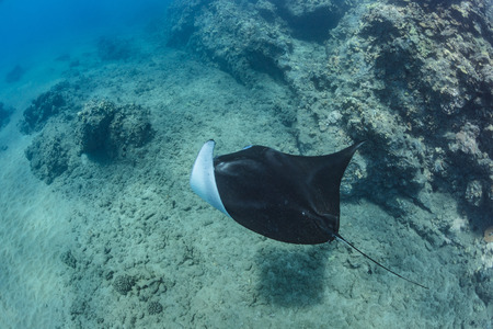 Black mantaray in blue water of Pacific ocean underwater world with reef corals discovered Stock Photo