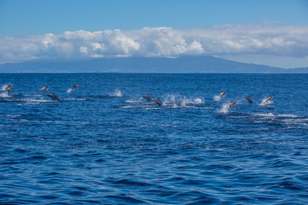 Big group of dolphins jumping from the ocean, pod on water surface, wildlife scenery Stock Photo