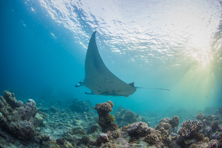 Marine wild life, a manta ray underwater traveling over coral reef under sunrays running through water surface