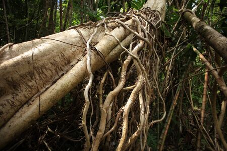 Tropical forest with high trees and roots on them Archivio Fotografico