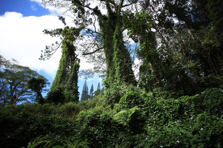 Tropical forest with high trees with green lush on them Archivio Fotografico