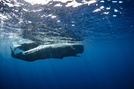 Peul van potvissen dichtbij waterspiegel onderwater
