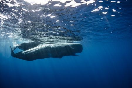 Pod of sperm whales near water surface underwater