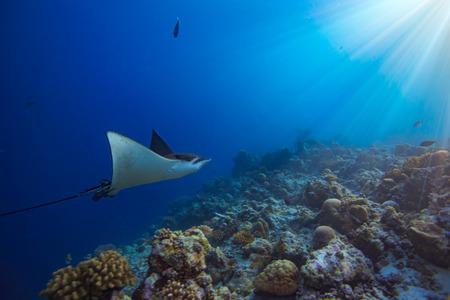Eagleray em movimento na água azul do Oceano Índico, nas Maldivas
