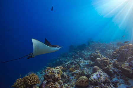 Eagleray in motion in blue water of Indian ocean in Maldives