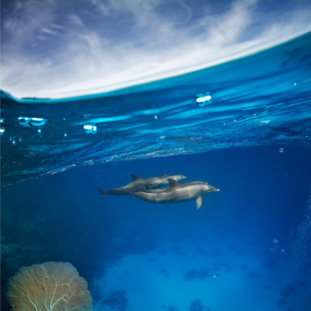 Underwater shot a family of four dolphins taking care of baby dolphin in blue water of red sea. Marine animals wildlife backround
