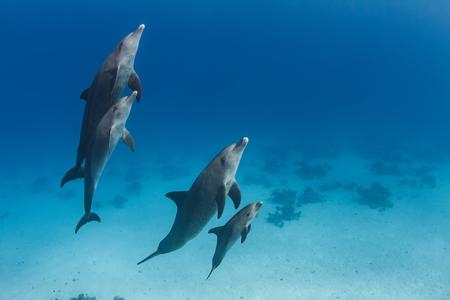 水中で母親と近くに滞在赤ちゃんイルカと4匹のイルカの家族ポッド。紅海の青い水の野生動物の背景 写真素材