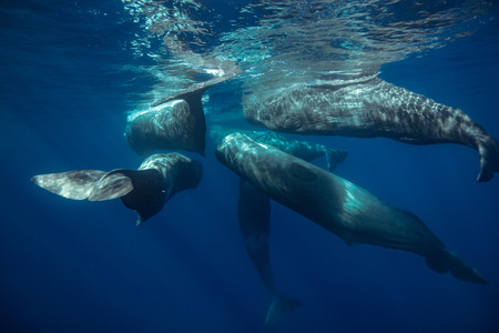 Sperm whales underwater traveling near water surface on blue aquatic background. Wildlife photography in Azores Banque d'images - 101630115