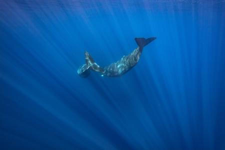 Pair of whales diving, underwater shot in Atlantic ocean, Azores islands, wildlife in nature Foto de archivo