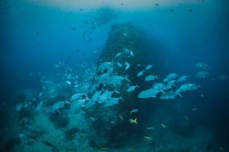 school of tropical fish in deep sea underwater moving around vertical coral reef rock against blue water background