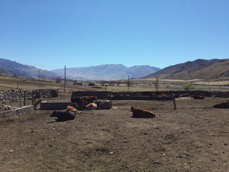 corral: enclosed in corral cows piedas