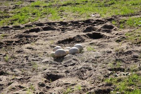 ostrich: Huevos de avestruz Foto de archivo