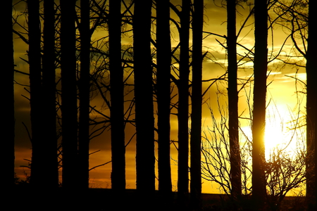 pine forest at dawn photo