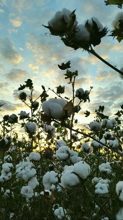 cotton: Cultivation of cotton