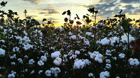 Plantation of cotton