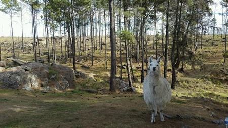 rock wool: White Llama Stock Photo