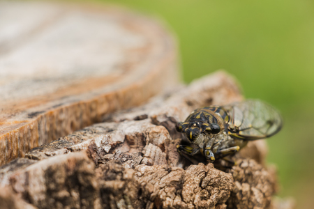 cicada bug: Cicara