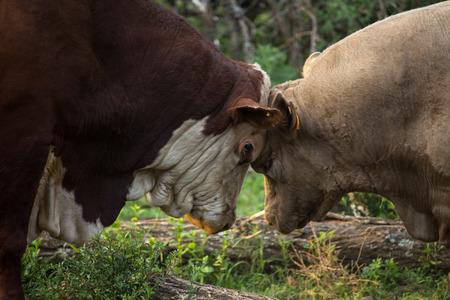 bulls fighting Stock Photo