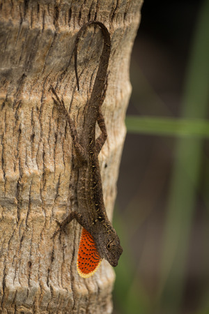 lizard alert network showing chin Banco de Imagens