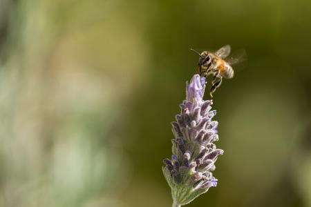 bee on flower: bee pollinating lavender flower Stock Photo