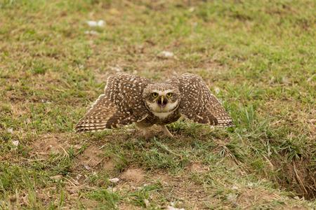animal screaming: angry owl