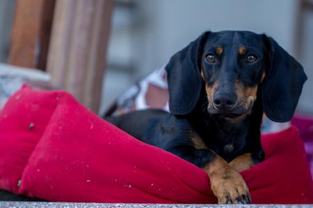 resting: black dachshund puppy resting